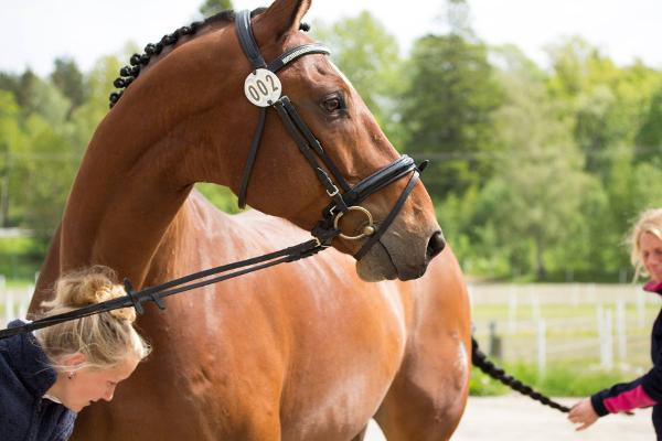 Häst Försäljning på Herrhamra
